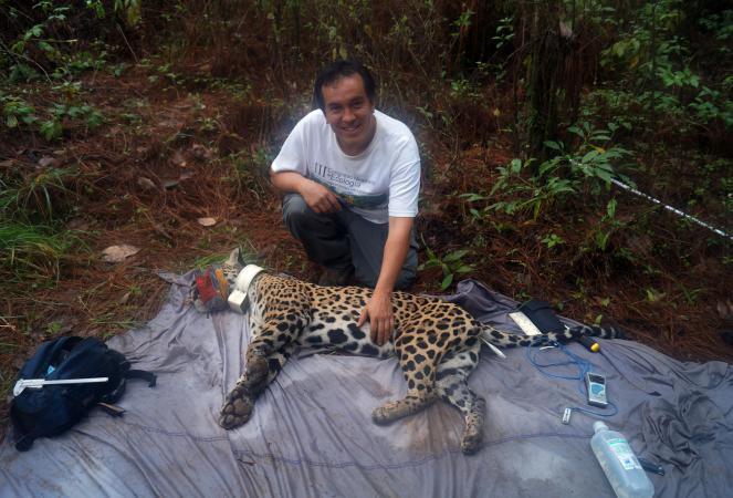 El investigador del Departamento de Ecología y Recursos Naturales, doctor Juan Pablo Esparza Carlos, con un jaguar